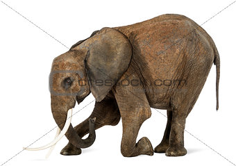 African Elephant kneeling, isolated on white