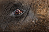 Close up of an African elephant's eye