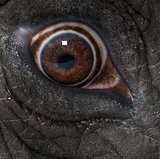 Macro of an African elephant's eye