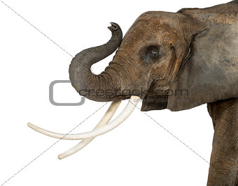 Close up of an African Elephant lifting its trunk, isolated on w