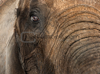 Close up of an African elephant
