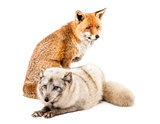 Red Fox, Vulpes vulpes, sitting and Arctic Fox, Vulpes lagopus,