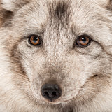 Close-up of a Arctic fox, Vulpes lagopus, also known as the whit