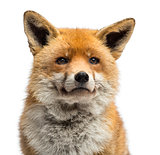 Close-up of a Red fox, Vulpes vulpes, isolated on white