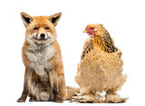 Hen sitting next to a Red fox, Vulpes vulpes, looking at it, iso
