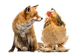 Red fox, Vulpes vulpes, sitting next to a Hen, looking at each o