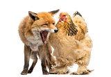 Red fox, Vulpes vulpes, sitting and yawning next to a Hen, isola