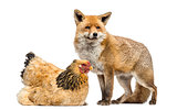 Red fox, Vulpes vulpes, standing next to a Hen, lying, isolated
