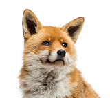 Close-up of a Red fox looking up, Vulpes vulpes, isolated on whi