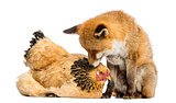 Red fox, Vulpes vulpes, sitting next to a Hen, lying, looking at