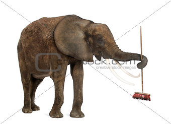 African elephant playing with a broom, isolated on white