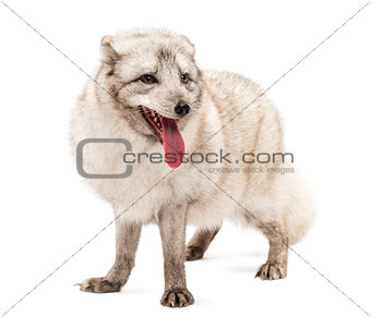 Arctic fox, Vulpes lagopus, also known as the white fox, polar f