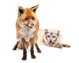 Red Fox, Vulpes vulpes, standing and Arctic Fox, Vulpes lagopus,