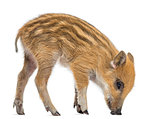 Wild boar, Sus scrofa, also known as wild pig, 2 months old,stan