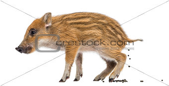Wild boar, Sus scrofa, also known as wild pig, 2 months old, def