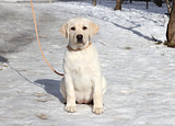 yellow labrador puppy on the snow