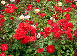 Roses on flowerbed