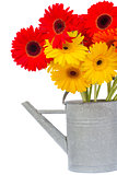 bouquet of gerbera flowers in watering can