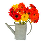 gerbera flowers in watering can