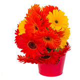 gerbera flowers in pot