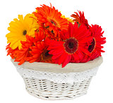 gerbera flowers in basket