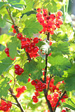 Berry of a red currant on the bush