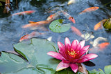 Water Lily Flower Blooming in Koi Pond