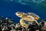Eretmochelys imbricata - hawksbill sea turtle