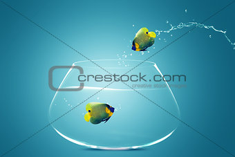 Angelfish jumbing to other bowl