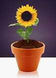 sunflower in garden pot