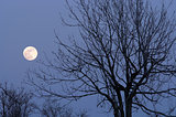 moon and bare tree