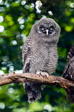 An young Great Grey Owl
