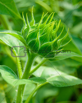 Close Up of Green Sunflower Bud