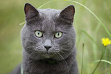 british gray cat in the grass