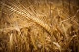 Ears of wheat. Toning.