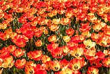 Colorful Tulips at Hidiv, Istanbul