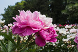 Peonies in the park