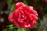 Garden red rose covered with water droplets