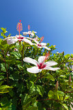 Beautiful bush white flowers with blue sky background