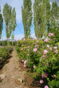 Beautiful pink roses at garden and trees