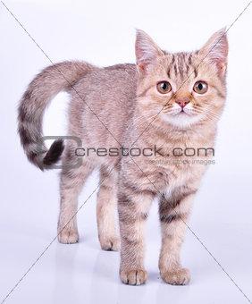 beautiful Scottish straight kitten walking towards