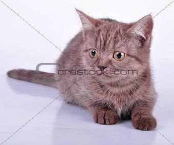 little beautiful chocolate kitten looking at camera