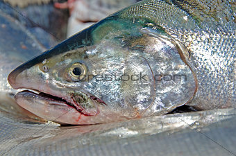 close up of a salmon