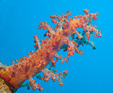 Large soft coral on a tropical coral reef