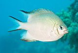 Pale damselfish swimming in blue water
