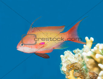 Anthias fish swimming in blue water