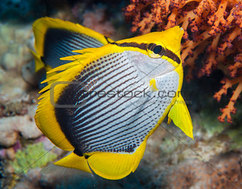 Blackbacked butterflyfish on a coral reef
