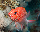 Tailspot squirrelfish on a coral reef