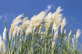 White Pampas Grass with Flower