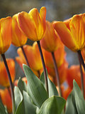 Vivid red and orange tulips